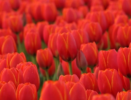10,000 Live Tulips Bloom at Metropolis at Metrotown, January 26 2019