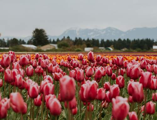 Chilliwack Tulips Returns